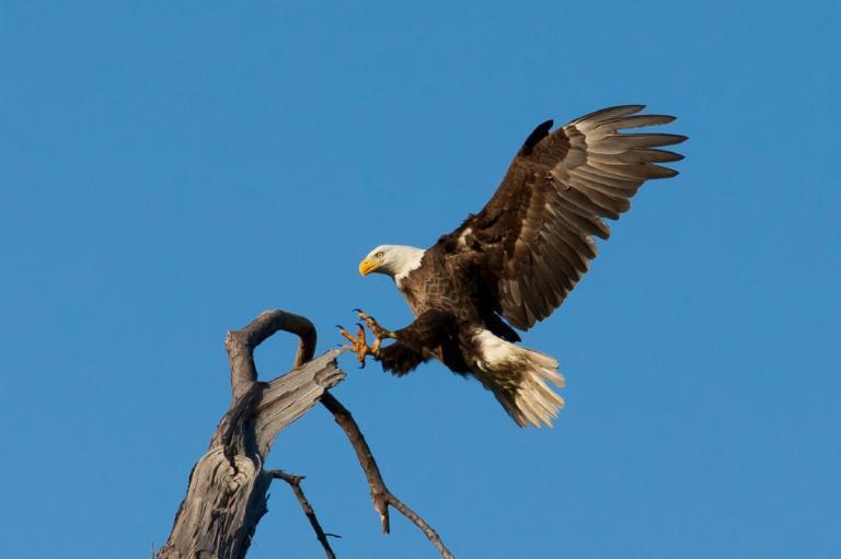 bald-eagle-landing